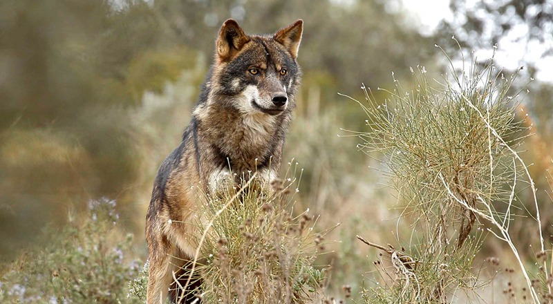 graban lobo fototrampeo aiguestortes