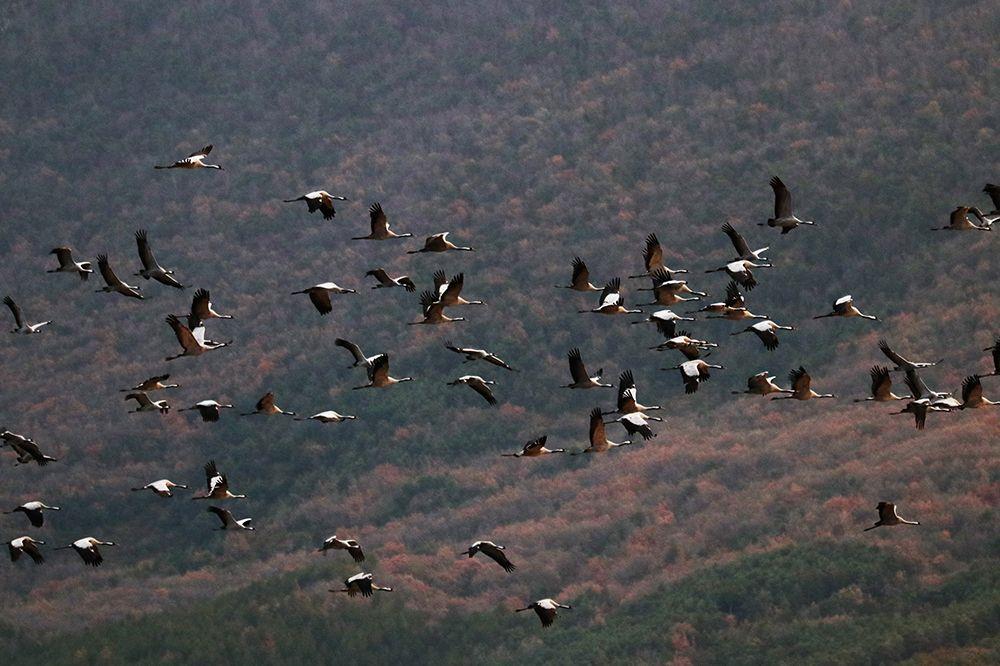 grullas migración