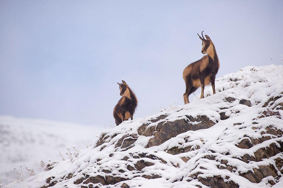 hijas del hielo sarrio pirineo rebeco