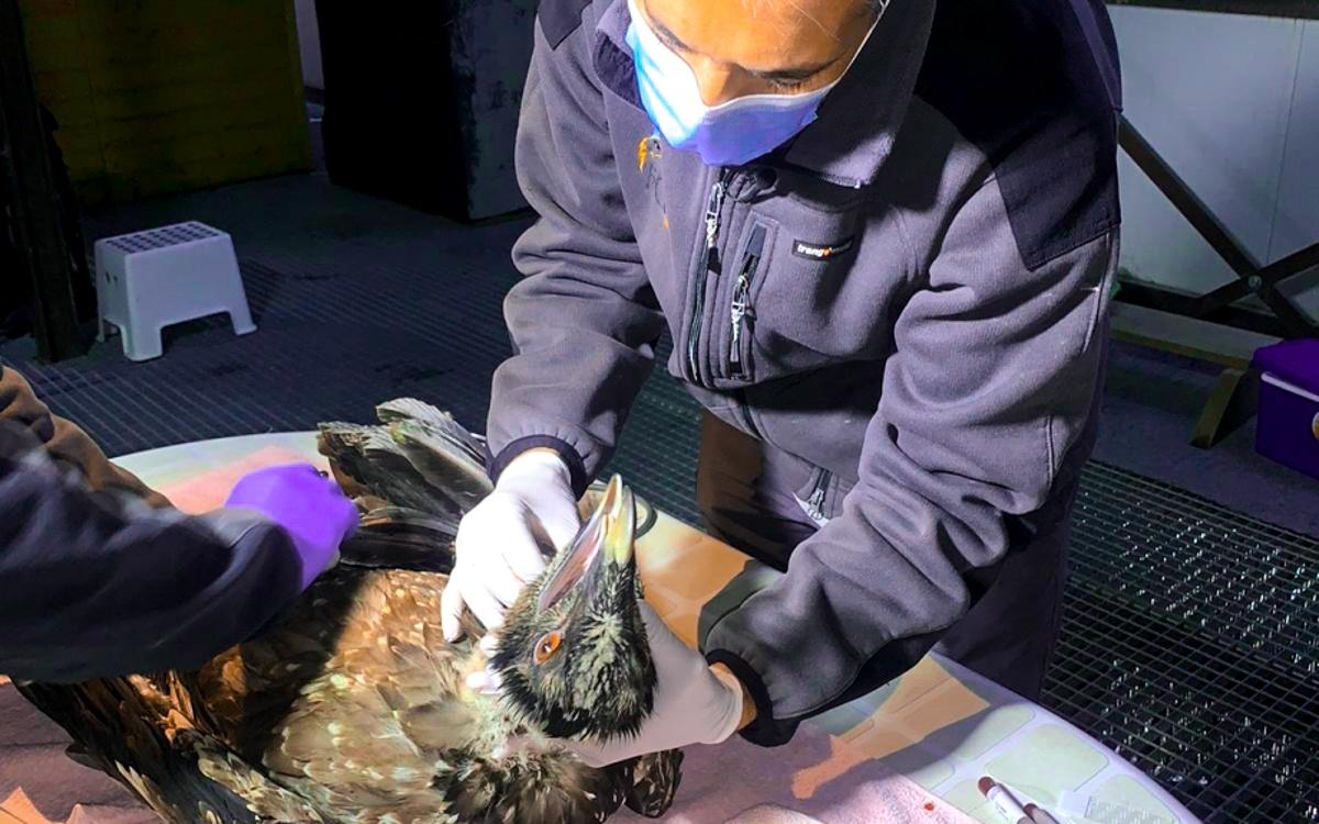 Chequo veterinario de los pollos de quebrantahuesos en Ordesa