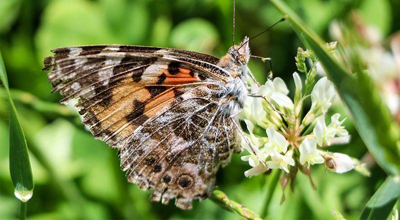la mariposa migrante vanesa de los cardos