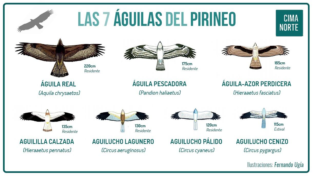 las aguilas del pirineo ilustracion aguila real dibujo imagen ornitología cima norte