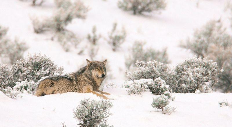 yellostone lobos