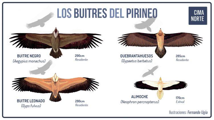 los buitres del pirineo infografia formas siluetas