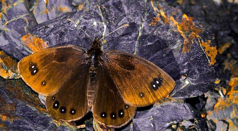 mariposa endemica sierra de guara