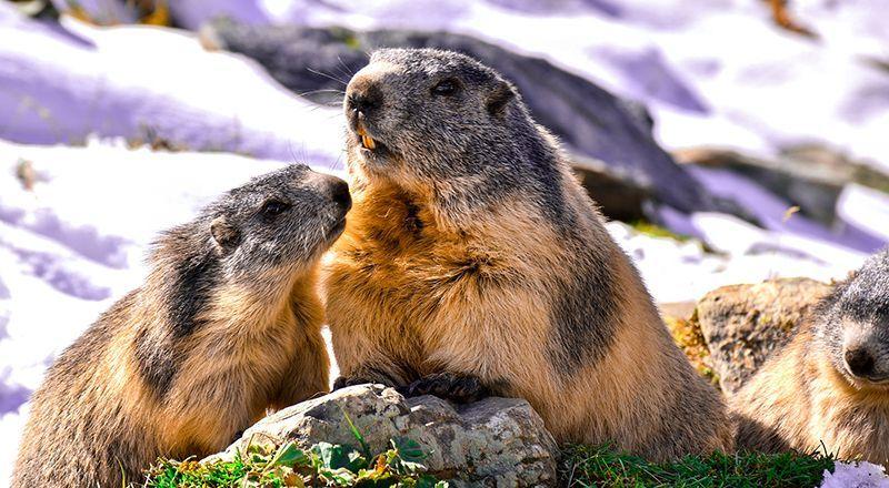 marmota alpina pirineo