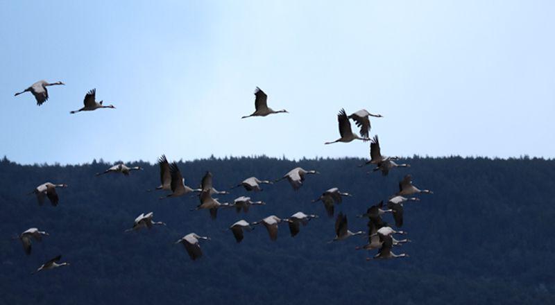 migración grullas