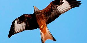 milano real aves necrófagas
