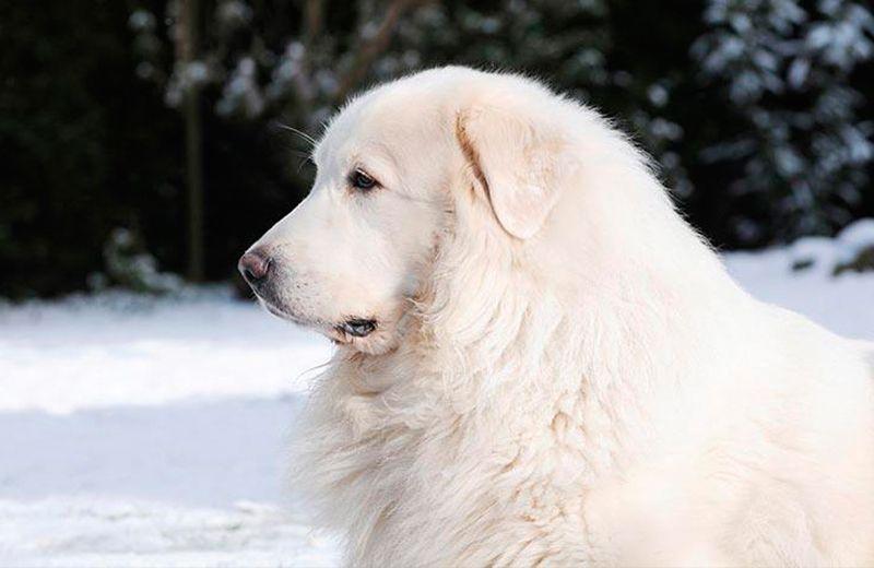 montaña del pirineo raza perro