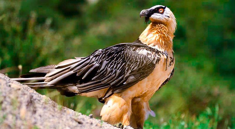 aves nace el primer quebrantahuesos en picos de europa desde hace un siglo