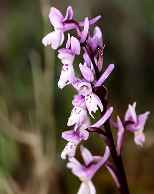 orchis olbiensiss orquideas pirineo raras