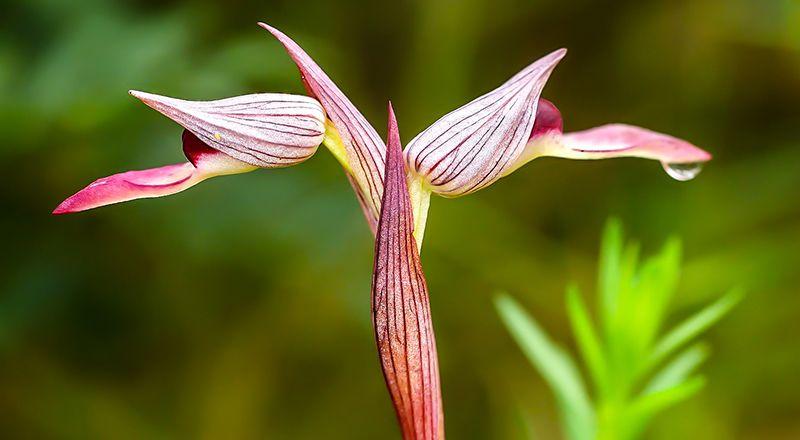orquideas raras del pirineo