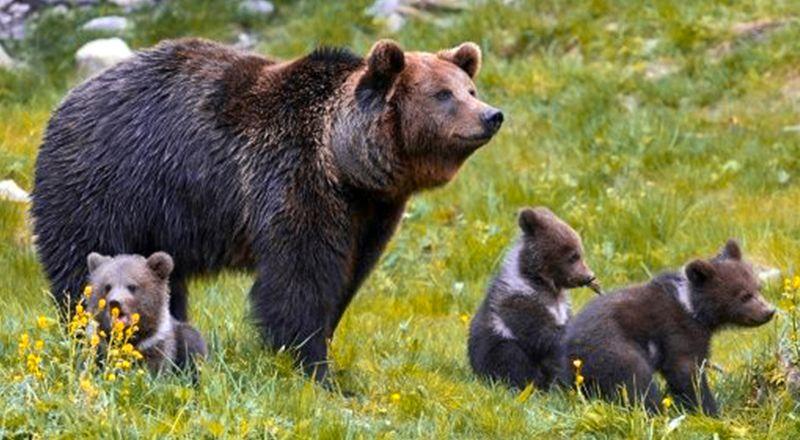 osos pirineo crecimiento población