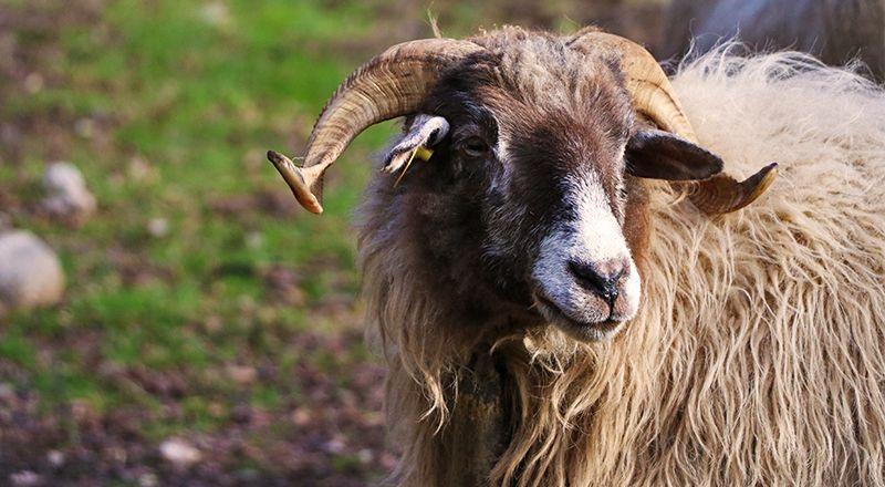 oveja queseria o xortical cima norte