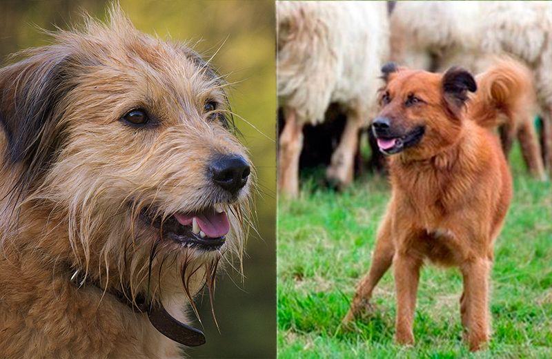 perro pastor casci
