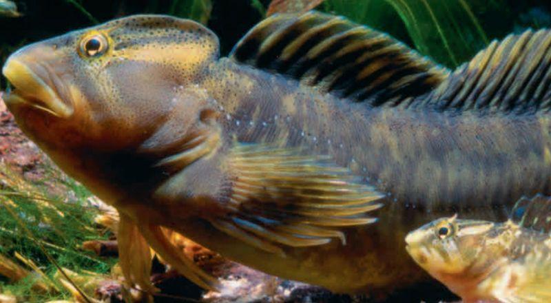 pez fraile