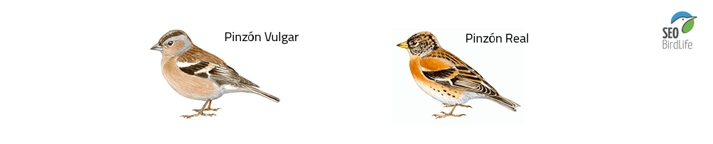 pinzon aves pirineo tipos