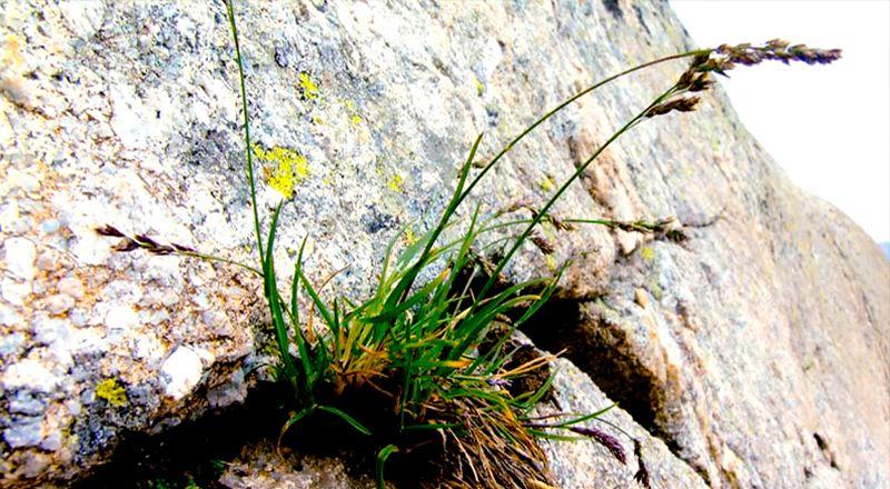 plantas poa laxa