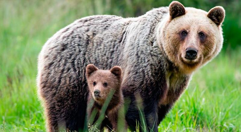 poblacion oso pirineo 64 ejemplares