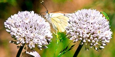 10 plantas raras del pirineo aragones
