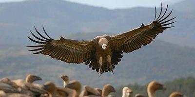 aves necrófagas pirineo