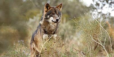 graban lobo fototrampeo