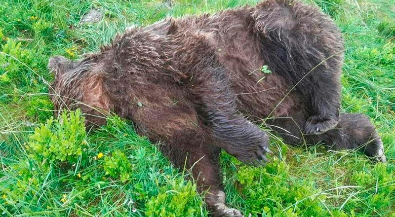 oso muerto balas aierege pirineo francés