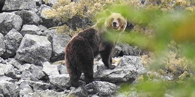 oso pardo fop