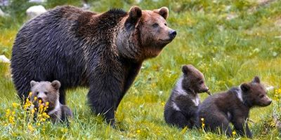 portada osos pirineo crecimiento población