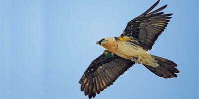 las alas del pirineo quebrantahuesos cima norte
