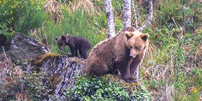 sustitucion osos pirineo