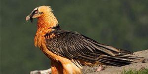 quebrantahuesos aves necrófagas