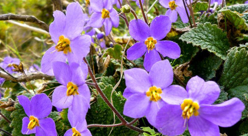 ramonda myconi plantas endémicas del pirineo
