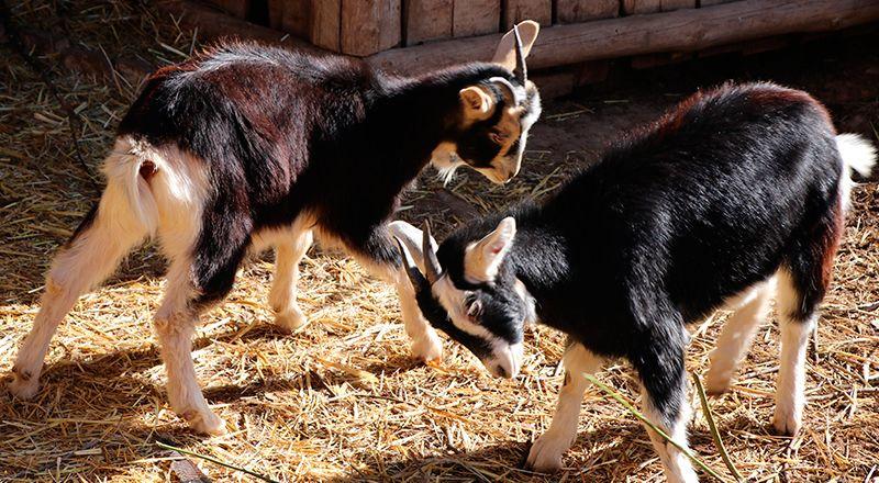 cabra pirenaica granja escuela riorcal