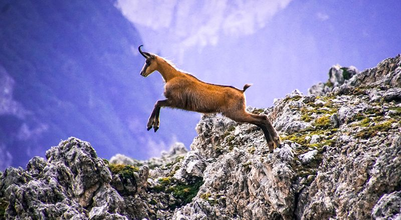 sarrio o rebeco en el pirineo cima norte animales