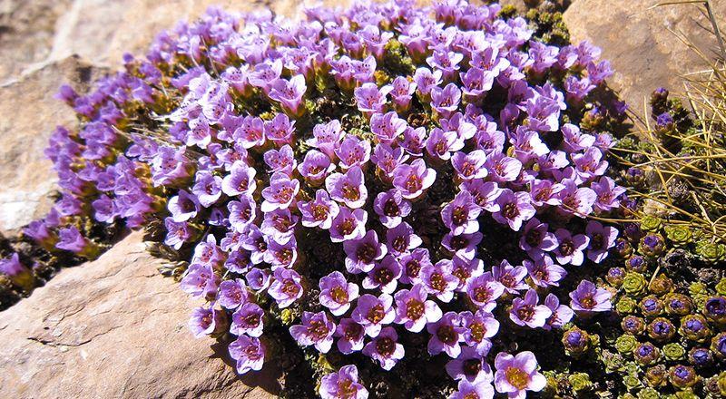 saxifraga oppositifolia plantas