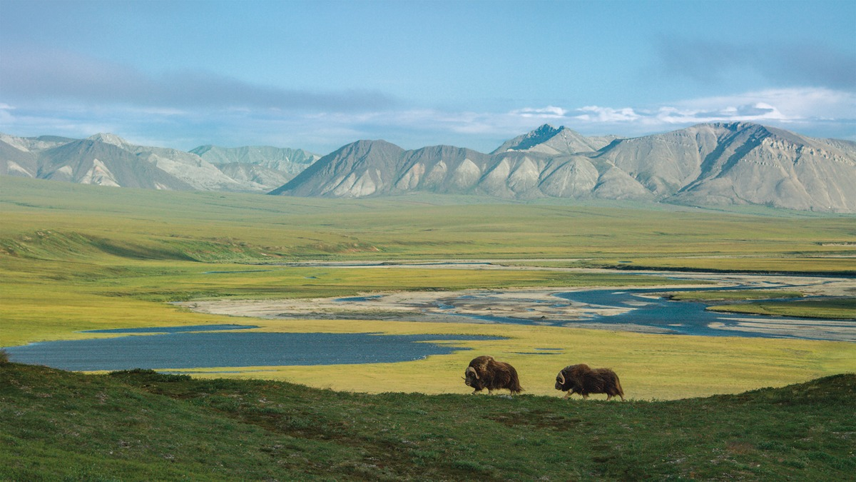"/ ""Musk oxen have been around for almost two millions years. Along with caribou, they are the only hoofed animals that survived the end of the Pleistocene era. Today, they roam the tundra of the Arctic National Wildlife Refuge in search of grasses, mosses and herbs in the permafrost. Alaska""."
