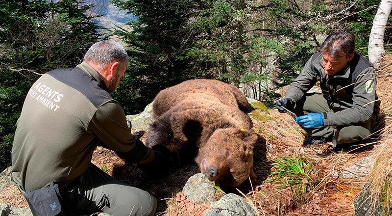 secreto de sumario Cachou oso pirineo muerte