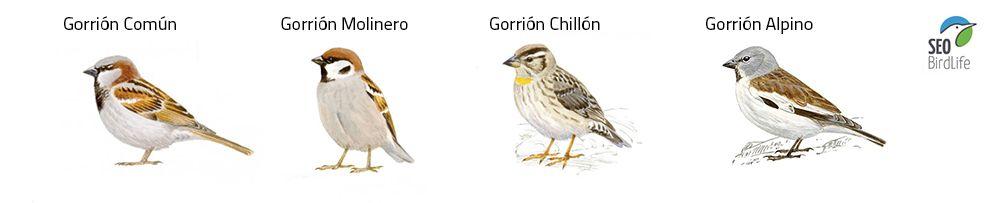 aves pirineo tipos de gorrión