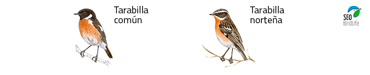tipos de tarabilla aves pirineo