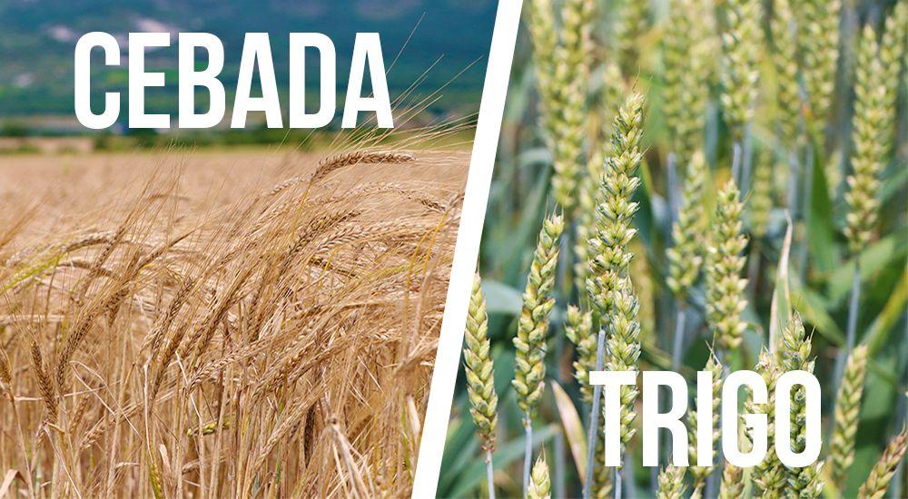 el trigo y el ordio