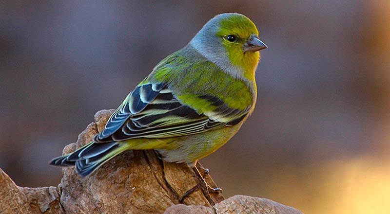 verderon birding aragón