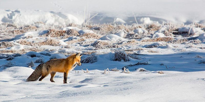 zorro rojo raboso